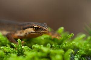 Kleine-Watersalamander-1.jpg